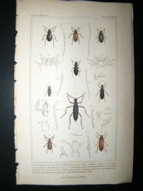 Cuvier C1835 Antique Hand Col Print. Amarygmus, Sphaeratus, Helops 42 Insects